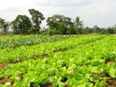 Pertanian Serap Tenaga Kerja Terbanyak